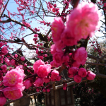 Blossoms at a Kyoto Temple 2018